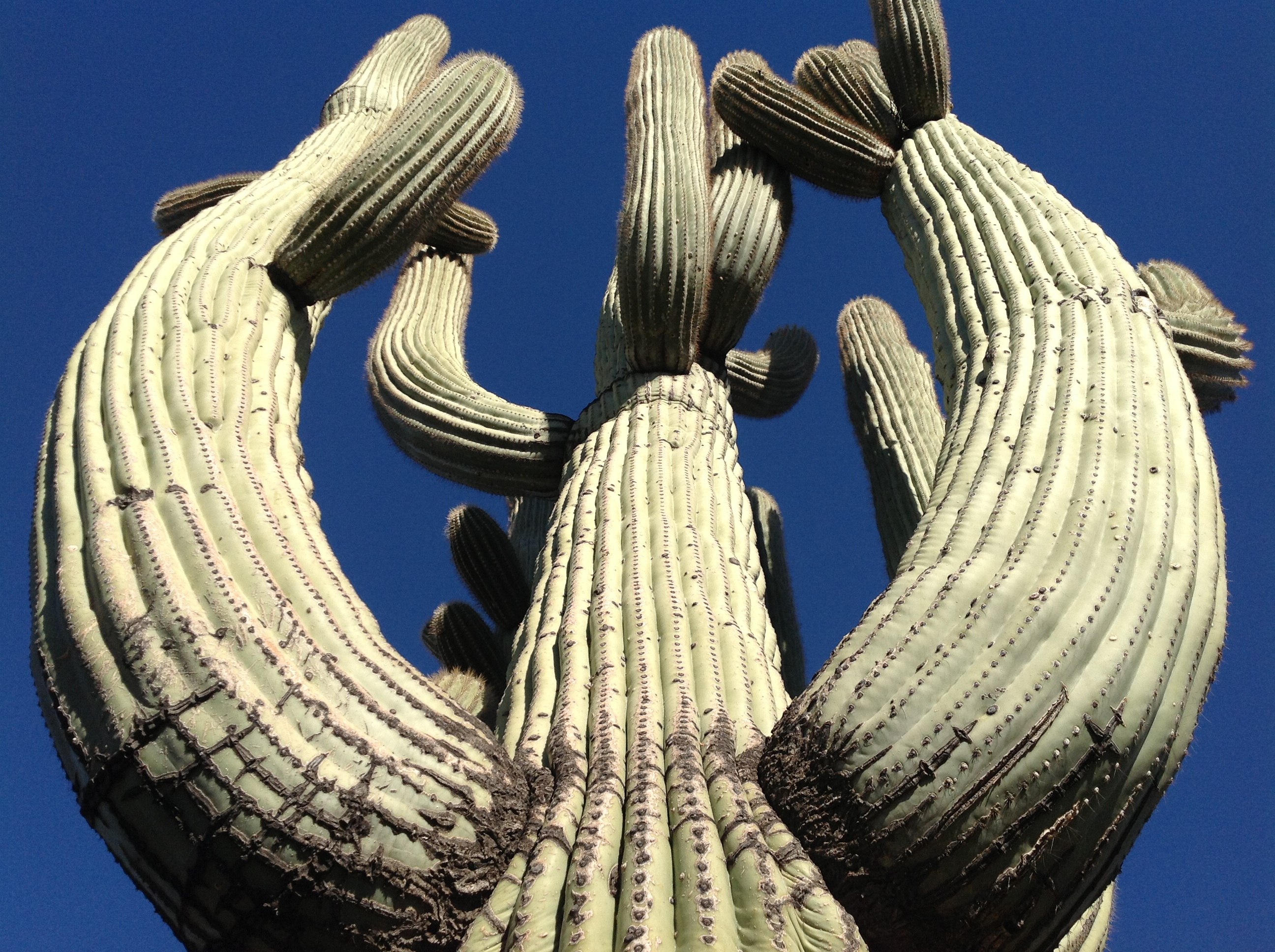 Through the Arms of a Giant - Saguaro National Park