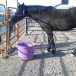 Search and Rescue Horses