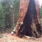 General Grant Tree Firescar